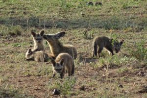 a bat-eared fox family, dad is looking out for any danger
