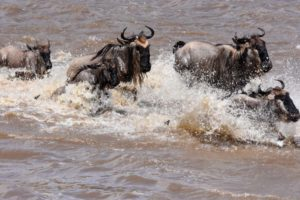 wildebeest crossing the Mara River during the migration as they head up north this time in search of greener pastures on the other side of this dangerous river