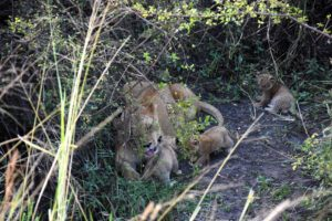mum looking after her three cubs, away from the main pride to keep them protected