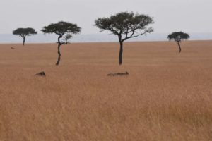 this is how tall the grass is, you can hardly see the wildebeest! It is also very easy terrain for a predator to hide...
