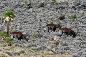 three old male walia ibex gently grazing in the Simien Mountains