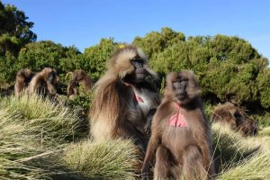 grooming session of the gelada monkeys