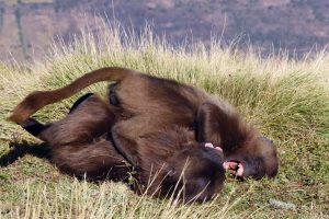 two young gelada monkeys playing