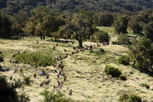 part of the troop of gelada monkeys on the move to greener pastures