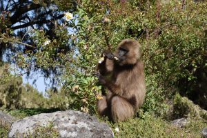 occasionally the gelada monkeys also eat flowers