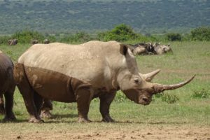 another white rhino with a beautiful long horn