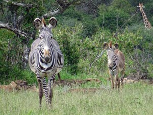 Grévy's zebras, so pretty and quite rare