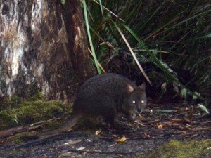some more wallabies around our camp site this night