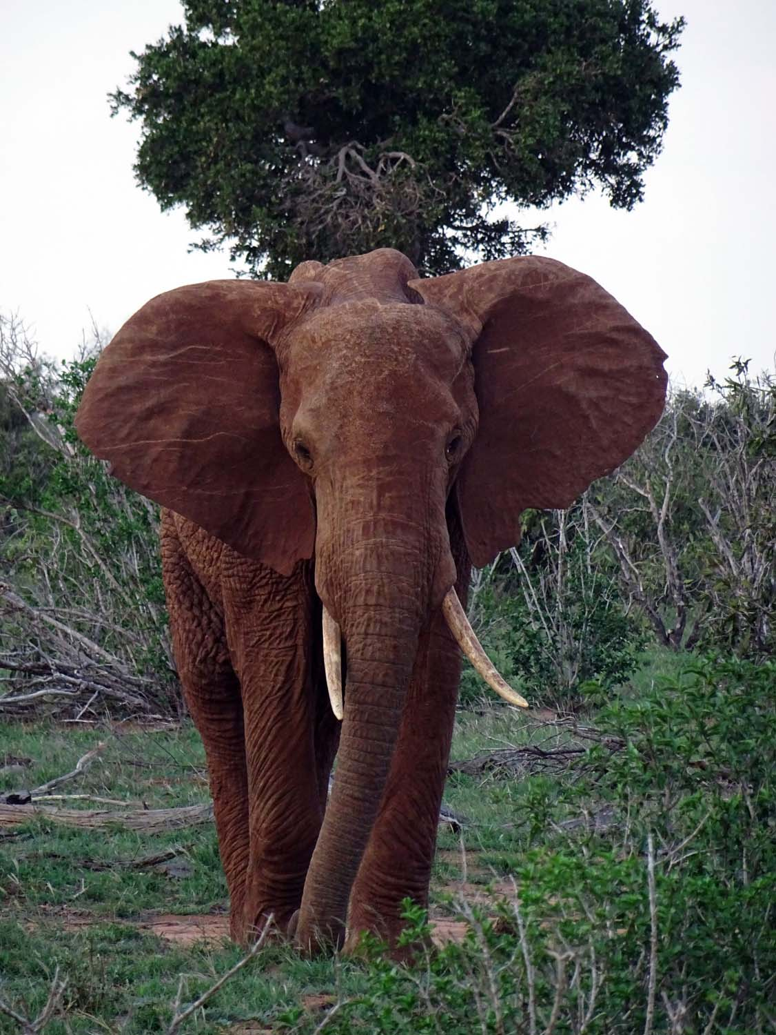the elephants in Tsavo look very red due to the red earth there.