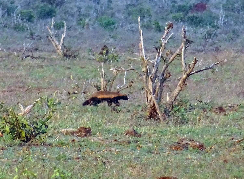 honey badger!!! isn't he cute?! (Tsavo East)