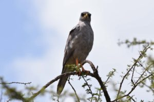 another new bird for us - the eastern chanting goshawk