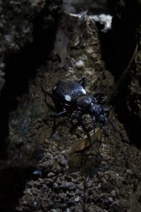 animal spotting doesn't stop when the sun goes down, and we find this beautiful assassin beetle close to our tent