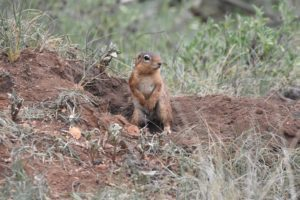 a cute striped ground squirrel checking the environment for danger from the safety of his hole
