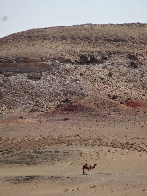 dromedary in the desert
