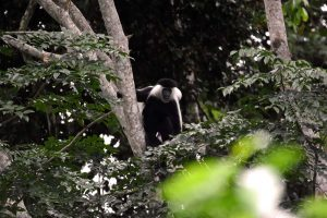 an Angola black and white colobus monkey calling the alarm for the intruders (us)