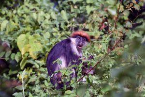 Udzungwa red colobus monkey