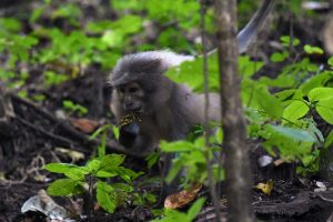 the sanje mangabey also forage on the forrest floor