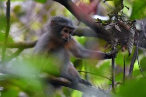 the sanje mangabey spends a lot of time in the trees, but luckily these trees are small so get a good view