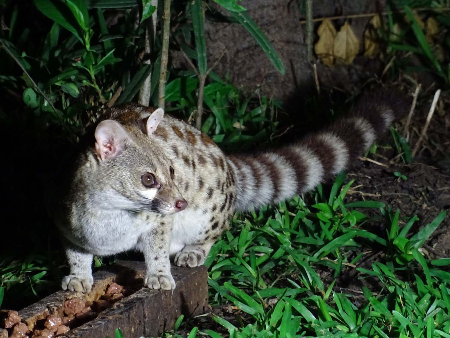 a genet comes for a visit (and eat some of the Whiskas put out for him)