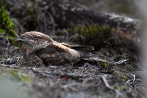 We did disturb a nightjar which was the first time we ever saw one in daylight. Apart from good pictures, we know finally also know which nightjar we have seen, a square-tailed nightjar.