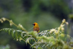 spectacled weaver collecting nesting material