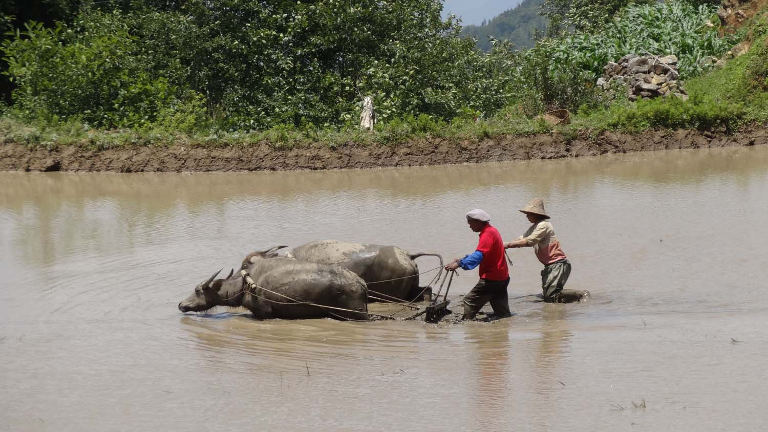 plowing is still done with the help of water buffaloes