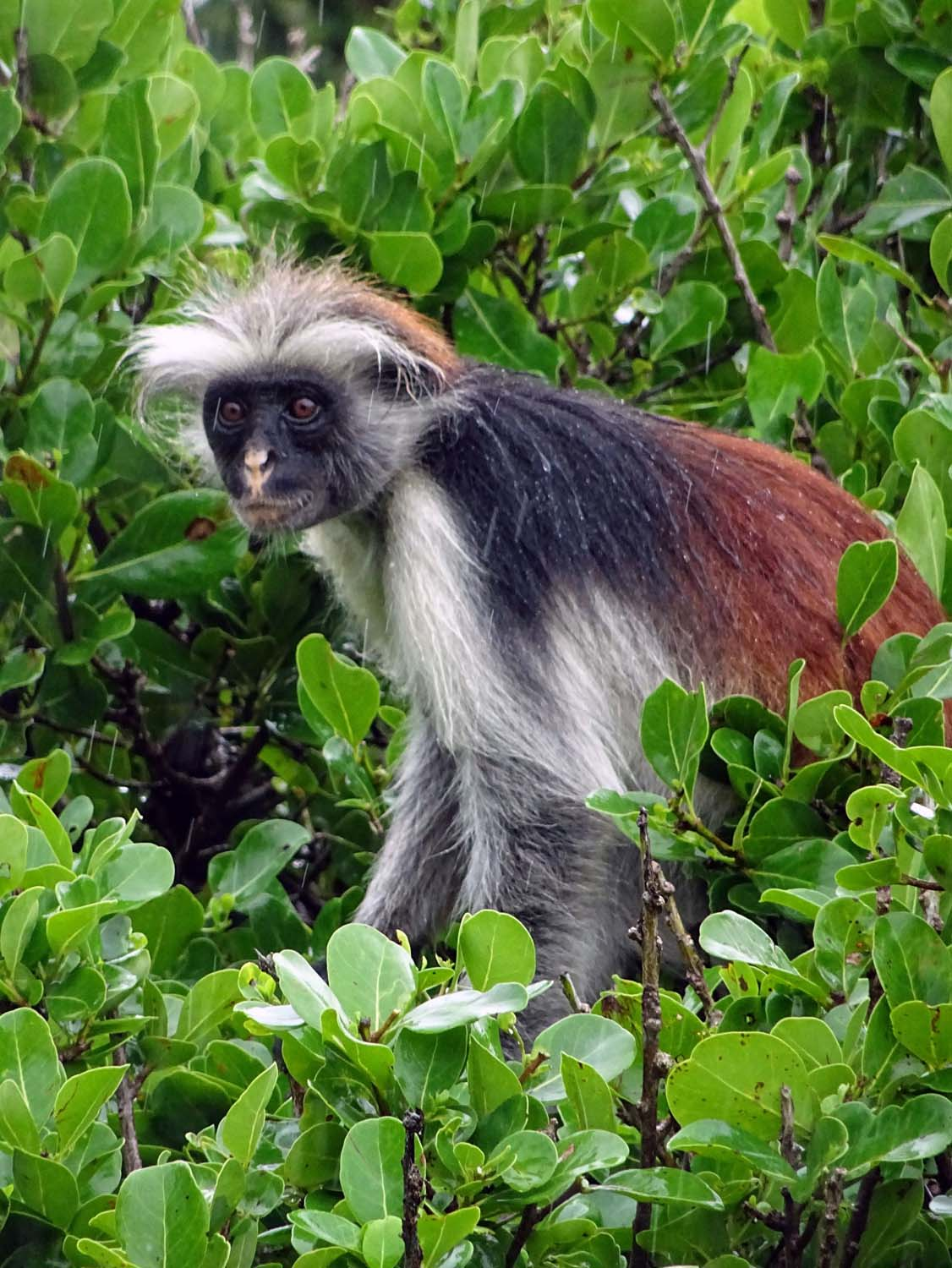 a rather damp red monkey