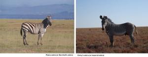the 2 types of zebra - we love the Grévy's zebra