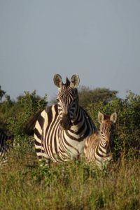 two cute zebras wondering where we are going...