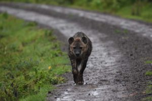 a rather damp hyena comes around the corner when we are watching the giant forest hogs