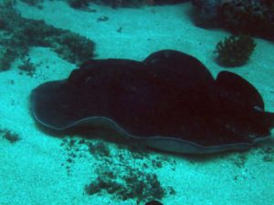 large sting ray