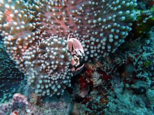 spotted porcelain crab hiding in the coral