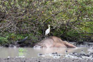 dead buffalo in Selous NP