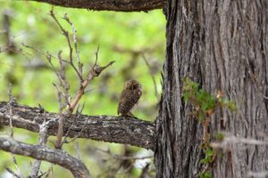 a beautiful pearl-spotted owlet