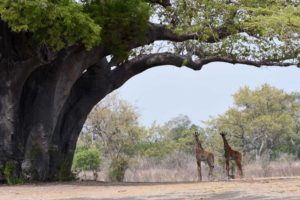 two giraffes dwarfed by the enormous baobab tree