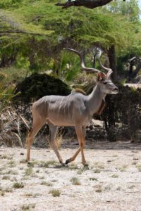 a beautiful male greater kudu