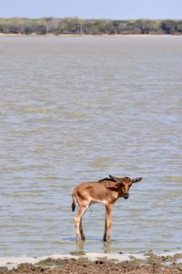 another drama, we spot this lone baby wildebeest on the shores of a lake, umbilical cord still attached means he is very young, but mum was nowhere to be found... crocs were already seen nearby and it probably won't survive the day...