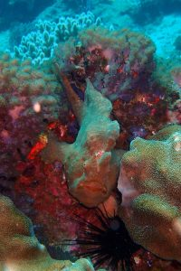a giant frog fish, spotted by Mari, they look just like coral and are hard to find