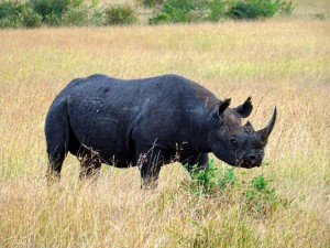 black rhino in the Mara Reserve