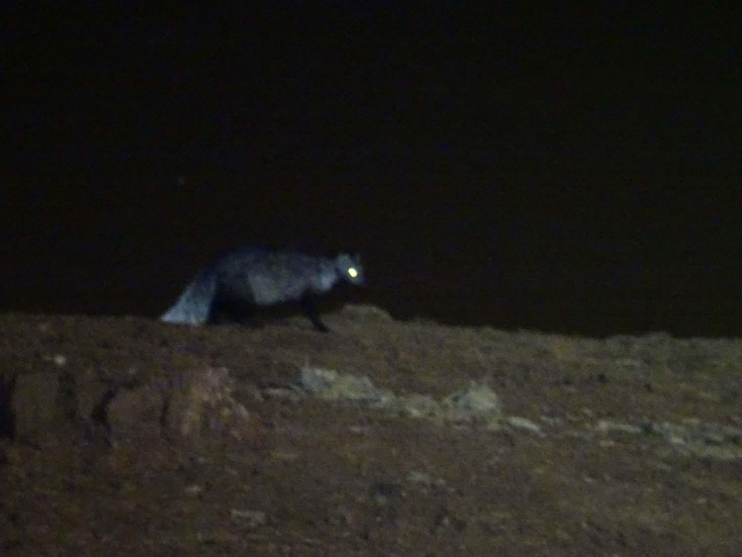 the unknown animal - might it have been a zorilla?!
