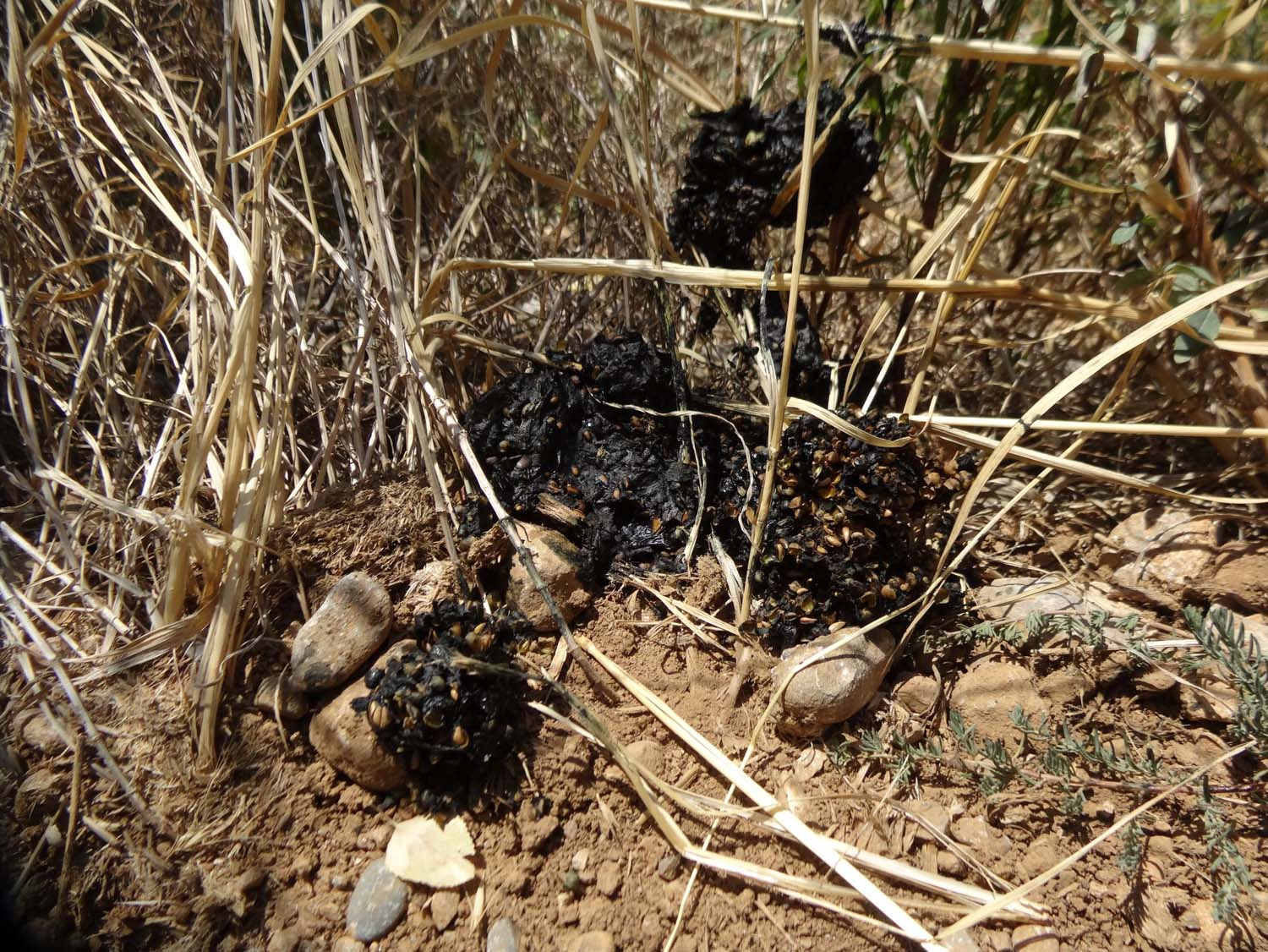 bear poo - unfortunately we never saw the one who dumped this poo