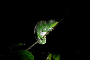 male Usambara giant 3-horned chameleon