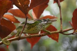 another Usambara giant 2-horned chameleon