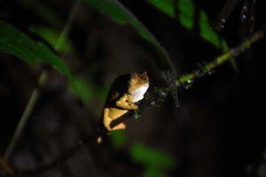 Usambara pitted pygmy chameleon