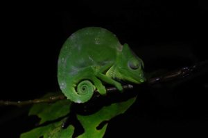 this female Usambara giant 3-horned chameleon is sound asleep but looks as grumpy as the male version