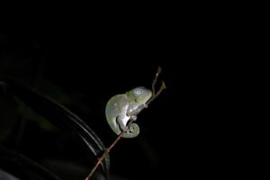 no, not a pygmy chameleon, but a baby Usambara giant 3-horned chameleon