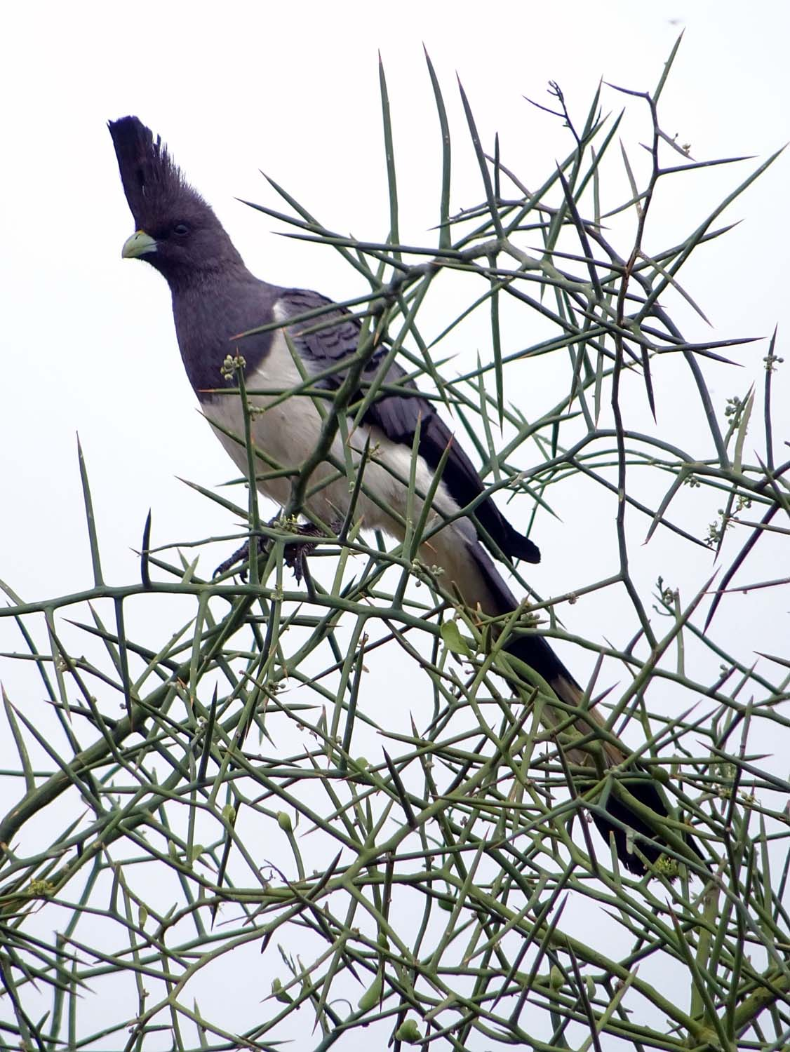 the friendly white-bellied 'go-away-bird' (Amboseli)