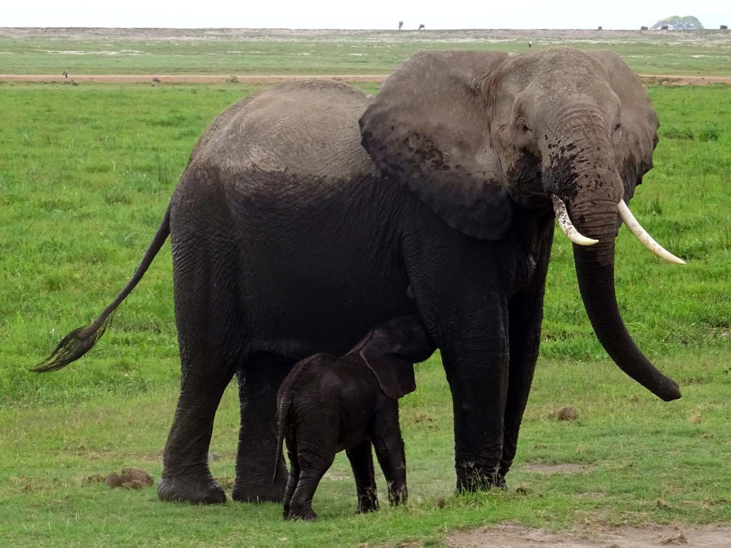 this mum gives her baby a break and a drink when coming onto dry land, you can see the depth of the swamp on her body (Amboseli)