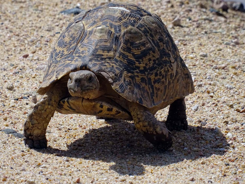 leopard tortoise (Amboseli)