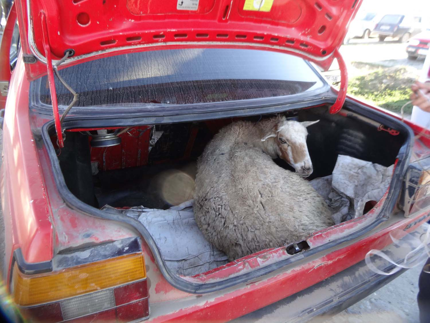 sheep in boot - of course